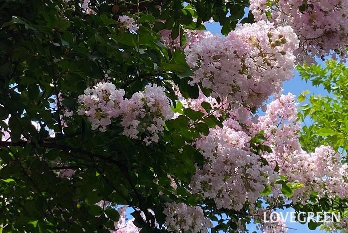 8月に咲く花・サルスベリ