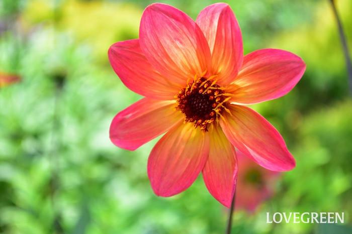 八重咲きもよいですが、一重も素朴でかわいいです。