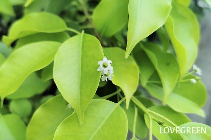 ソヨゴはとても小さくて地味な花を咲かせます。注意して確認しないと咲いていることに気がつかないくらいの小さな花です。ソヨゴの花の特徴や咲く時期を紹介します。  ソヨゴの花の特徴 ソヨゴの花は直径5mm程度、色はグリーンに近い白です。ソヨゴは雌雄異株なので、それぞれに花が咲きます。雄株の花は枝の先に密集するように咲くのに対して、雌株の方が花数が少ないのが特徴です。雌株の花には2~4cm程度の長い柄があります。  ソヨゴの花の咲く時期 ソヨゴの花の咲く時期は5月~6月です。初夏の風が吹き始めた頃に葉の間に小さな花を咲かせます。光沢のある葉の間から小さなグリーンがかった花を咲かせます。