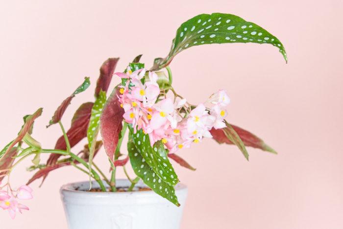 花郷園オリジナル品種の「流れ星」を購入できる場所はごくわずか。水玉模様の葉はそこにあるだけで絵画のよう。STOREで母の日に販売してるマザーズデイという丈夫で花をよく咲かせてくれるベゴニアを片親にもちます。  流れ星の魅力は何と言っても花!花を咲かせるときは6回ハート型の雄花が咲いては咲いてを繰り返し、最後のフィナーレで雌花が咲きます。  その期間は約2ヶ月。水玉も良いの葉を楽しめるだけでなく、花が咲き始める変化も見れてワクワクです!