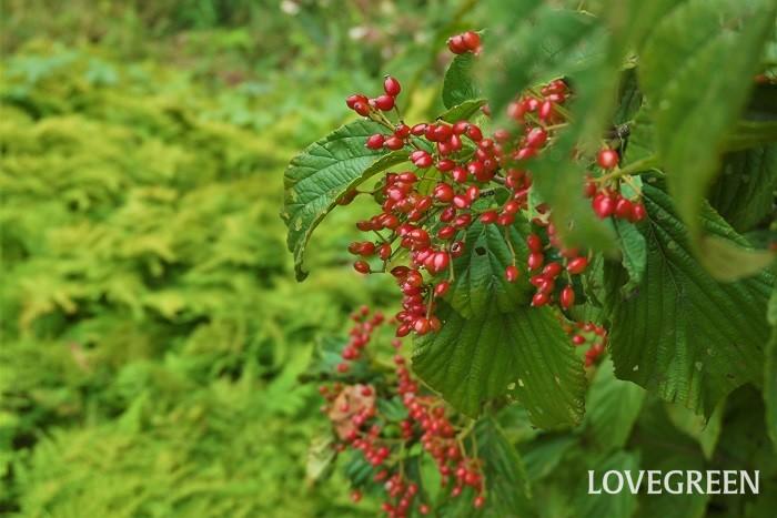 学名:Viburnum dilatatum 英語:Japanese bush cranberry(ジャパニーズブッシュクランベリー) 科名:レンプクソウ科 収穫期:10月~11月 ガマズミは英名をJapanese bush cranberry(ジャパニーズブッシュクランベリー)と言う、落葉高木です。庭木としても人気の果樹です。初夏の白い花と秋に真赤に熟す果実が美しい果樹です。ガマズミの果実は酸味が強く生食には向きません。果実酒やジュースにして楽しみます。