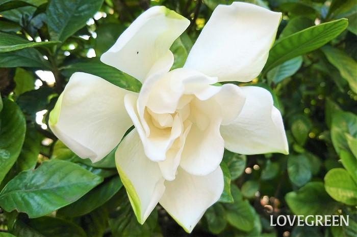 花期:6月~7月 樹高:1~3m クチナシは、初夏にうっとりするくらい甘い香りの花を花を咲かせる常緑低木です。花色は白、一重咲きと八重咲きがあります。花径が小さなサイズの品種もあります。