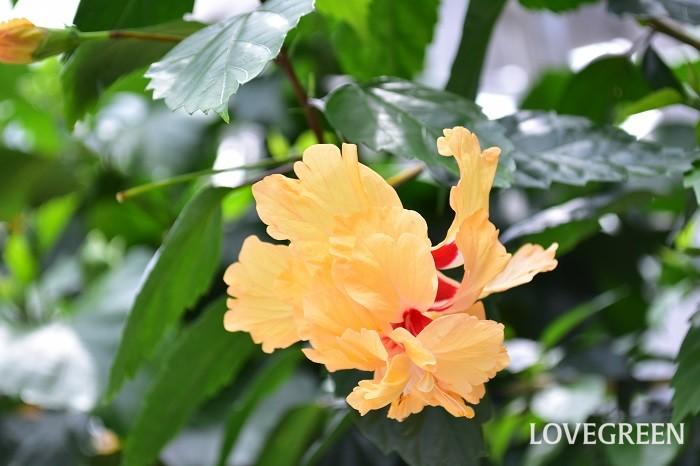 レモンフラミンゴはコーラル系のハイビスカス。花径は10~13cmほどの中輪で、柱頭が花弁化した二段咲きの品種。フラミンゴをイメージさせるオレンジ色の花が垂れ下がるように咲くハイビスカスは「フラミンゴ」。その黄花品種がレモンフラミンゴです。葉の縁はギザギザしています。