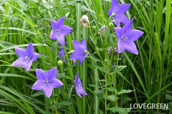 キキョウは夏に花を咲かせる宿根草。秋の七草で知られ秋の花のイメージが強いキキョウですが、真夏の暑い時期でも涼しげに咲き続ける丈夫な花です。花が星型なので七夕の頃に飾ってもよいですね。キキョウは品種が豊富で、様々な色、咲き方があります。品種によって高性から矮性まで様々なので、庭の植え付ける位置に合わせて品種を選びましょう。