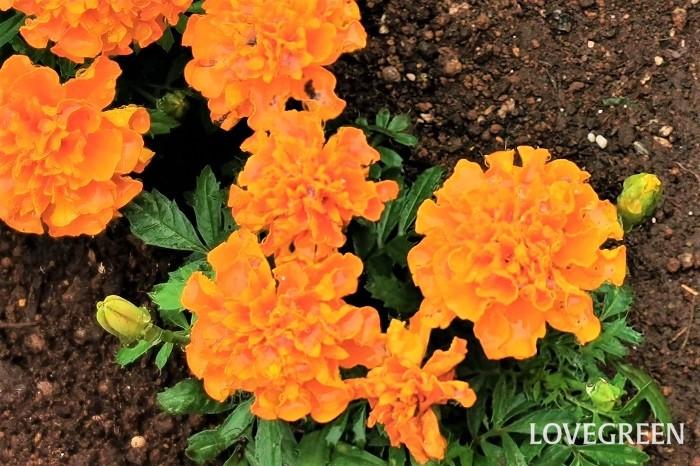開花期:6~10月 分類:一年草 マリーゴールドは夏の間、オレンジ色や黄色の明るい花で花壇を賑やかにしてくれる一年草です。花付きが良く、初秋まで長く楽しめます。