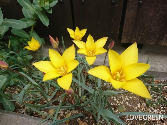 分類:多年草 花期:3~5月 春には欠かせない花、チューリップ。キャンディのようなポップなカラーバリエーションが魅力です。
