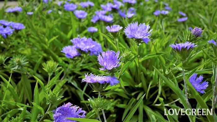 花期:6月~10月 分類:多年草 ストケシアは初夏から秋まで花を咲かせる多年草です。夏の暑い盛りに白や紫色の涼し気な花を咲かせます。日当たりの良い場所を好みます。