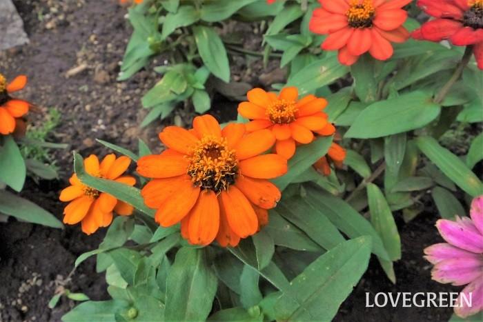 花期:5月~11月 分類:一年草 ジニアは夏の間たくさんの花を咲かせる一年草です。強健で色の種類も豊富なので、夏の庭の強い味方です。