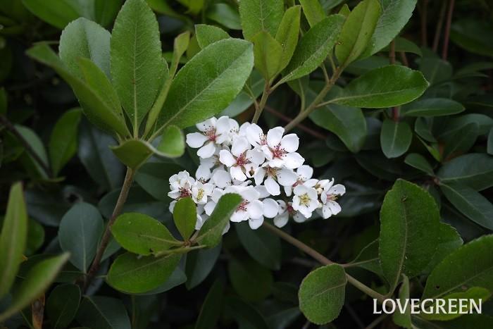 花期:5月~6月 樹高:1~3m シャリンバイは厚みと光沢のある葉が印象的な常緑低木です。春に咲く花は白く、花びらが5枚で梅を思わせます。非常に丈夫なため街路樹にも利用されます。