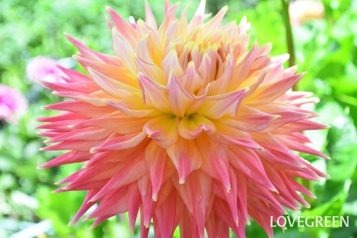 ダリアは咲き方、色、花のサイズが豊富で、品種がたくさんある夏に咲く球根の花。最近では種から育てるタイプも登場しています。一番花の大輪のダリアが見られるのは7月ならでは。その後、切り戻しておくと秋に再び美しく返り咲きます。