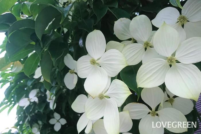 花期:6月~7月 樹高:5~10m 常緑ヤマボウシは、ミズキ科の常緑高木です。初夏にクリーム色がかった白の花を咲かせます。常緑ヤマボウシは樹形が乱れにくく管理が楽なので、目隠しや生垣として、人気のある庭木です。