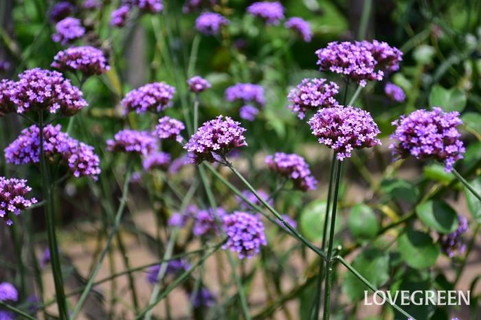 バーベナは宿根性でも這性で丈の低いもの、高性で1m以上の丈になるものなど、品種によって花丈がかなり違います。三尺バーベナは高性のバーベナ。とても丈夫で植えっぱなしでよく育つ宿根草で、こぼれ種でも増えます。