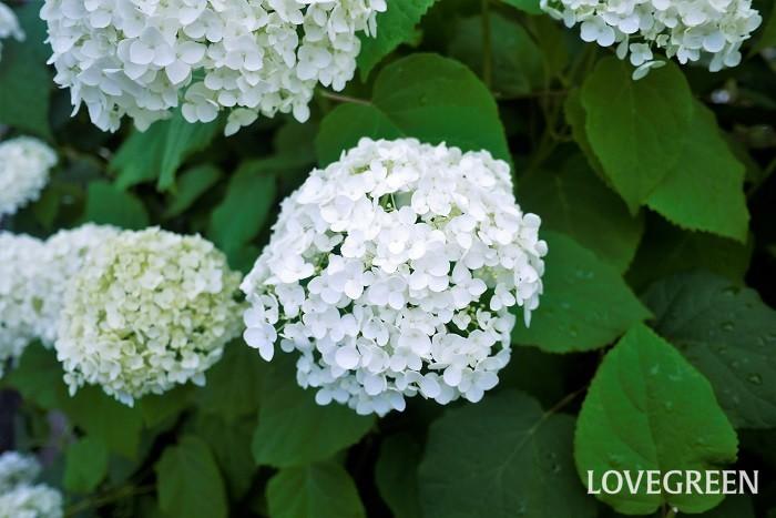 アナベルは初夏に白い花を咲かせ、徐々にグリーンへと変化していくアジサイの仲間です。グリーンに色を変えてからのアナベルは特に長持ちします。