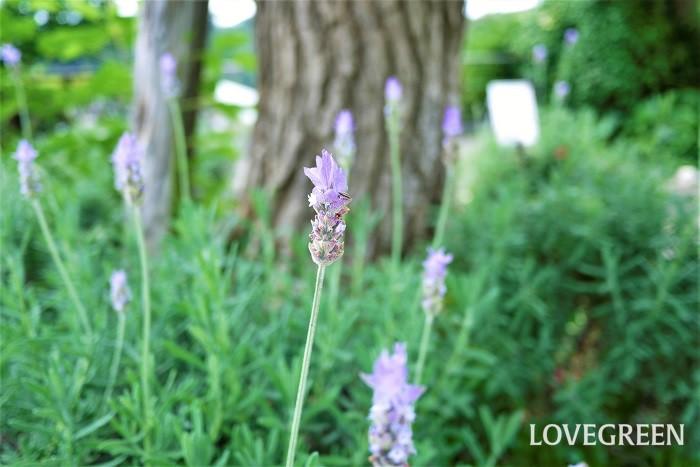 ラベンダーは甘い香りが有名なハーブです。ラベンダー色という色の名前があるように、青味がかった薄紫色の花を咲かせます。庭植えにすると茂みのように大きくなるので、存在感があります。