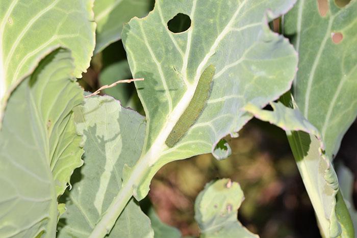 8月も中盤を過ぎると、夏野菜の収穫も一段落つく頃です。そろそろ次の秋冬野菜の準備を始めようと思うのですが、キャベツや白菜、ホウレンソウなどの葉物野菜には虫が付きやすいイメージがあります。秋冬野菜を虫から守る方法を教えていただきたいです。