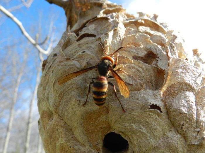 大きくなったスズメバチの巣、素人に駆除は無理?