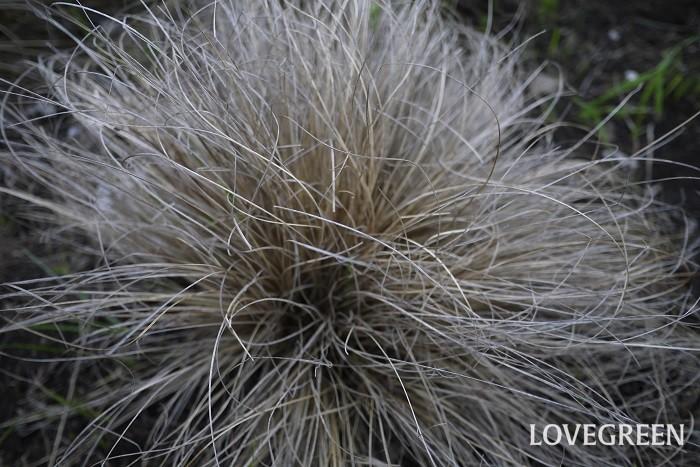 科名:カヤツリグサ科 分類:多年草 カレックスは糸のような細い葉が印象的なグラス類。秋の優しい風情の花によく似合います。