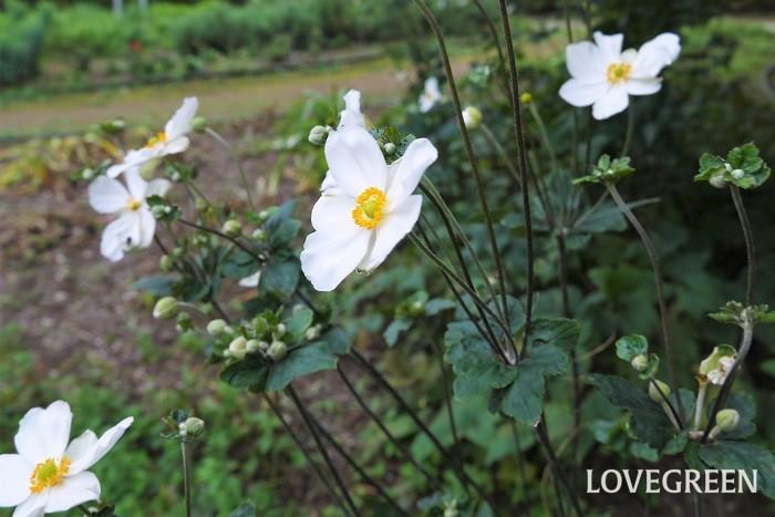 科名:キンポウゲ科 分類:多年草 シュウメイギクはキクと名が付きますが、キンポウゲ科の花です。アネモネのような優しい雰囲気の花を咲かせます。