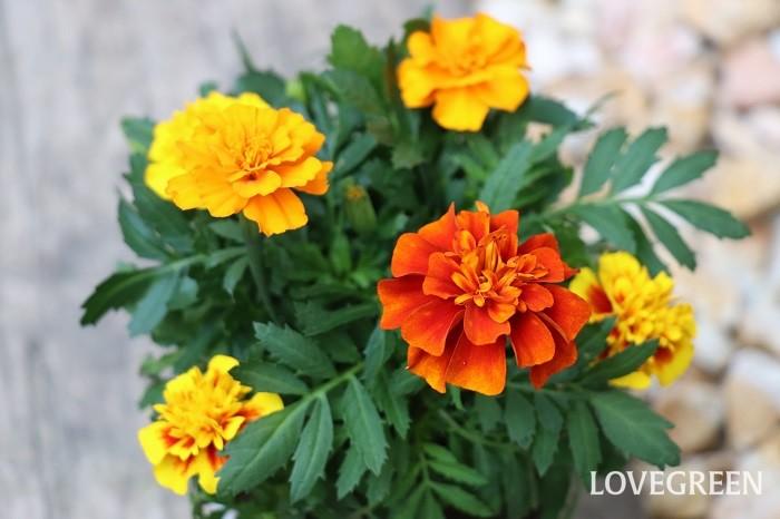 マリーゴールドの開花期は4月~7月、9月~11月頃。花色は赤、橙、黄色などがあり、花は独特な香りがします。  マリーゴールドにはフレンチとアフリカンがありますが、どちらもコンパニオンプランツとして使われています。コンパニオンプランツとは、一緒に植えると互いの性質が影響し合って病害虫が抑えられたり、元気に育つようになる植物のことを言いますが、マリーゴールドは様々な植物と相性が良く、マリーゴールドを植えておくと植物の根を侵すセンチュウ被害を防げると言われています。