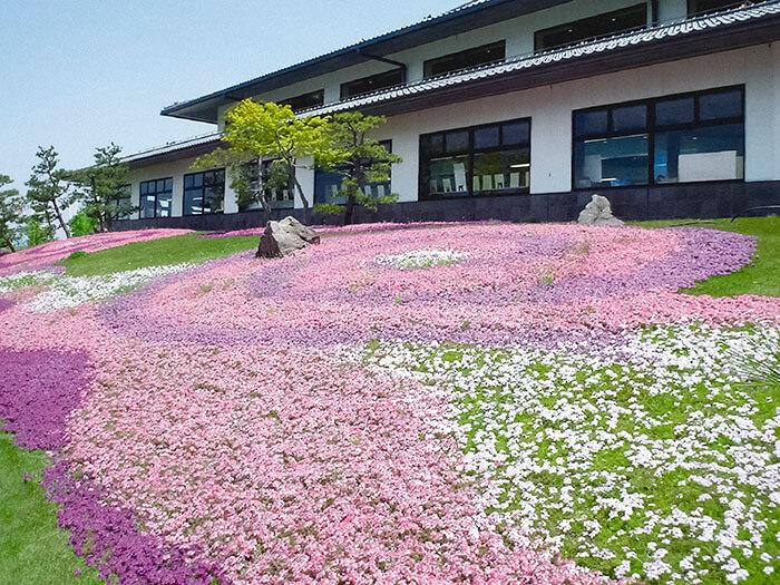 タピアンの魅力は、お花がかわいいだけではありません!雑草よりも早く生長するスピードも魅力なんです!秋にお庭の雑草が生えやすい場所などに植えれば、雑草よりも早く広がり、春の雑草防止に役立ちますよ。