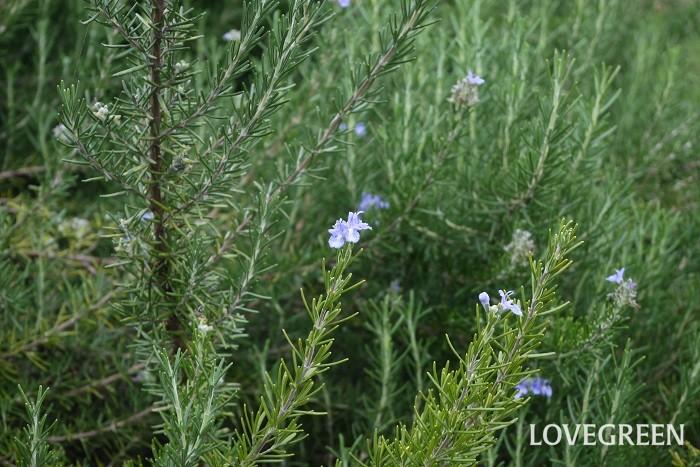 科名:シソ科 分類:常緑低木 ローズマリーは香りの良いことで有名なハーブです。日当たりが良ければ四季咲きで花を咲かせます。