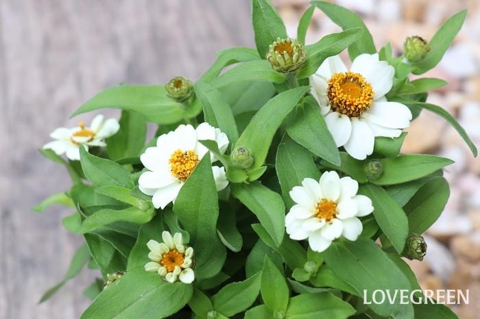 ジニアには、背が高いもの、低めのもの、一重咲き、八重咲き、ダリア咲き、ポンポン咲きと様々な品種があります。小さい寄せ植えには背が低いタイプ、鉢が大きくて高さがある場合は背が高いタイプを使うとバランスがとりやすいです。  花の中心部が茶色っぽくなって、さらに花びらの色がワントーン褪せたようになってきたら摘み取るタイミングです。花のすぐ下の葉の上で切ると脇芽が出ないので、2節下の葉の上で切ります。