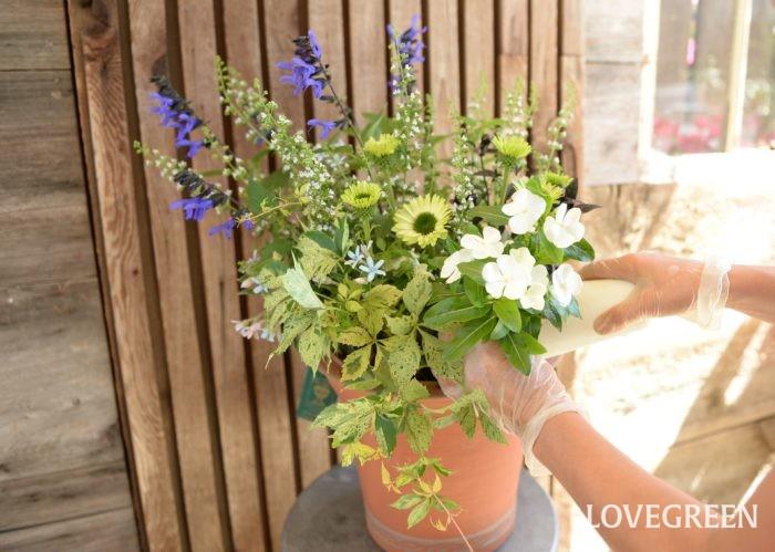暑い夏に涼し気な寄せ植えがイキイキと育っている姿を見ると、とっても爽やかな気持ちになります。写真の寄せ植えは、青色のメドーセージとオキシペタラム(ブルースター)、グリーンのエキナセアと斑入りアメリカヅタ、白のニチニチソウとカラミンサなどを使っています。