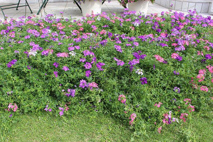 グランドカバーは、地面に沿って横に広がる(ほふく性)植物で、雑草より強く早く咲き広がり、生長すると地面を植物が覆ってくれます。芝生のグリーンカーペットをイメージすると分かりやすいと思います。  グランドカバーが地面を覆うことで、飛来してくる雑草の種子が地面におちて発芽しにくくなったり、すでにグランドカバーがあることで日光を遮り、雑草繁殖を抑制する効果があります。まさに「草をもって草を制す!」の考え方ですね。