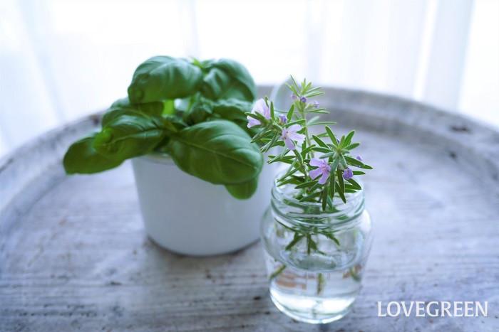 ハーブの意味 ハーブとは薬草や香草など人間にとって有用な植物のことです。薬用にされていたり、香りや味を楽しむことができたりと、観賞目的だけでなく有効利用が可能な植物を意味する言葉です。  ハーブの由来 「herb(ハーブ)」という英語は、ラテン語で草という意味を持つ「harba(ハーバ)」に由来するとされています。  薬草としてのハーブ 私たち人間は古代より、生活のさまざまな場面でハーブを用いてきました。東西問わずハーブの利用法は多岐に渡ります。民間療法における薬や食用のみならず、ミイラを作る際の防腐剤として、また宗教儀式、魔術、果ては媚薬としても利用されていました。現在でもハーブから作られた薬品が多く存在します。  食用としてのハーブ ハーブは薬草の他に食用としても利用されてきました。始まりは中世の頃、修道院などで薬草としてハーブが盛んに栽培されるようになりました。薬草として利用されていたハーブは肉や魚の防腐・防臭に使用されるなど、次第に私たちの生活のなかで身近な存在となっていきました。  さらに発展してスパイスとして味に奥行きを出したり、香り付けに利用されたりと薬としてだけでなく、食用にも欠かせない存在に変化していきました。  現在でもハーブティーの他、煮込み料理に使用するローリエの葉やソーセージには欠かせないコモンセージなど、ハーブは日々の食卓を豊かにしてくれています。