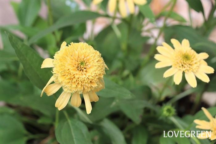 エキナセアは八重咲きタイプも人気があります。咲き進むにつれて花の中心部がこんもりと大きくなり、花びらが下を向く姿もユニークで可愛い特徴です。