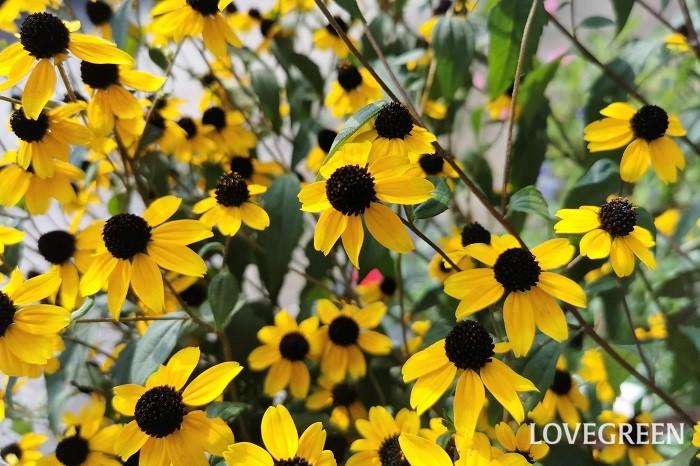 科名:キク科 分類:一年草、多年草 ルドベキアは別名マツカサギクと言います。花が終わると花芯が円柱状に伸びて松かさのように見えるのが由来です。
