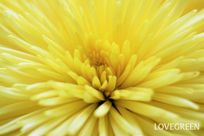 学名:Chrysanthemum 科名:キク科 分類:多年草 菊の特徴 日本の秋を代表するような花、菊。菊は皇室の紋にも使用されています。原産は中国、日本に渡ってきてから国内でブームが起こり多くの品種が排出されました。さらに菊は海外に渡りピンポンマムなどの新しい品種が生れました。  菊の花は咲き方、花色共にバリエーション豊富。大ぶりで花芯が見えないほどたくさんの花びらを付ける菊も、小さく一重の風情ある野菊も、どちらも甲乙つけがたい美しさです。
