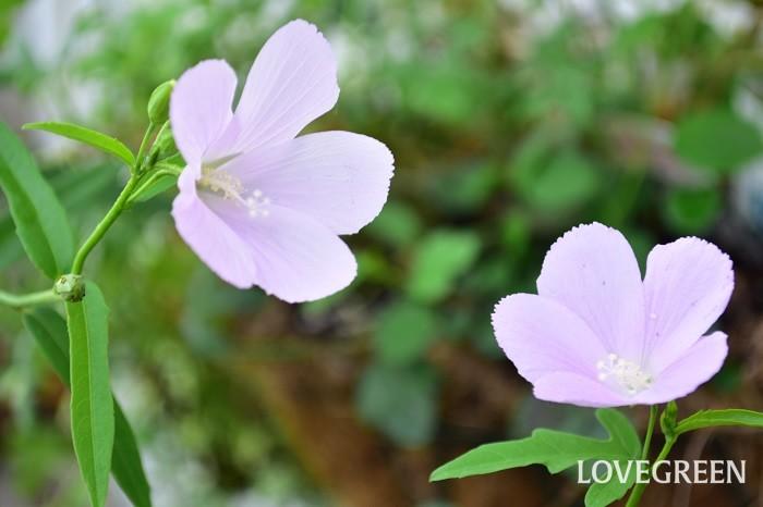 毎朝、ハンギングのあちこちから花が開花するのを見るのが夏の楽しみ。小さくても形はしっかりハイビスカスの形でかわいい。