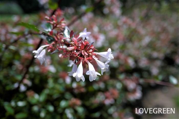 科名:スイカズラ科 分類:常緑低木 アベリアは春から秋まで四季咲きの常緑低木。優しい白い花が印象的です。花色がピンクの品種や斑入りなどがあります。