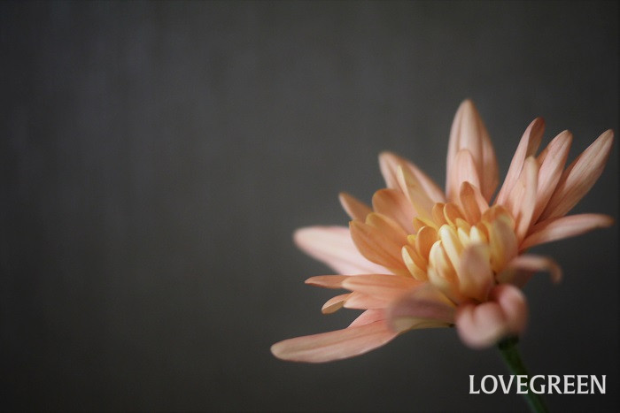 場所・用土 菊は日当たり、水はけ共に良い場所を好みます。鉢植えの菊は市販の園芸用培養土で問題なく育てられます。菊専用の用土があれば使用するようにしましょう。  開花後の菊は半日陰で管理すると花を長く楽しめるようになります。  水やり 地植えの菊は表土が乾燥して白っぽくなったら水やりを行います。鉢植えは表土が乾いたら鉢底から水が流れ出てくるくらい、たっぷりと与えます。