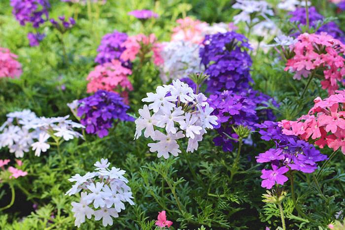 そしてなんといっても嬉しいのが、ローメンテナンスであること。苗を地植えすれば、ほぼ植えっぱなしでOK!虫や病気にも強く丈夫なので、手間なくグランドカバーを庭に取り入れることができます。