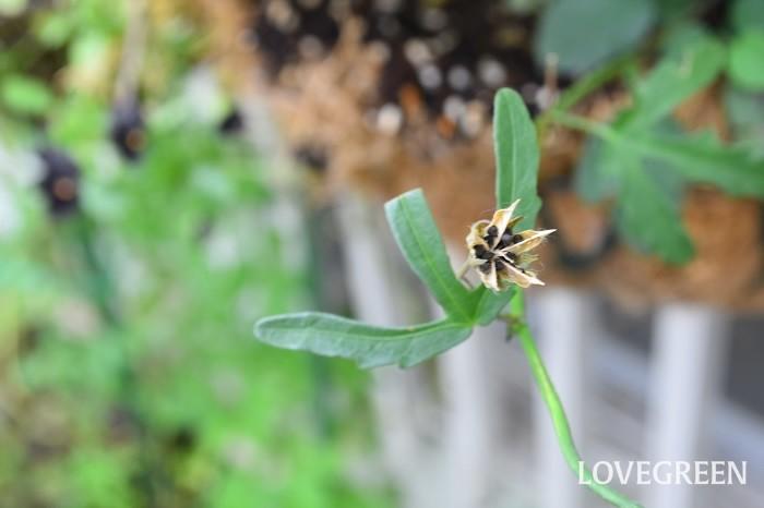 花がらを摘まないでおくと種をつけ、種からでも簡単に発芽します。ハイビスカス・ロバツスは耐寒性はないため、冬は室内で管理すれば多年草として楽しむことができます。