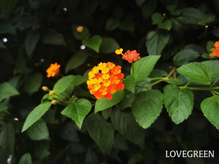 科名:クマツヅラ科 分類:常緑低木 ランタナは毬のような小花が可愛い常緑低木です。夏から秋まで咲き続けます。