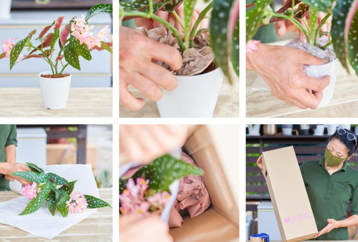 土をこぼれにくくしっかり固定、配送時に葉や花がなるべく擦れないように紙で株全体を覆い、鉢がなるべく動かないように緩衝材を入れ、テープで固定しお届けします!