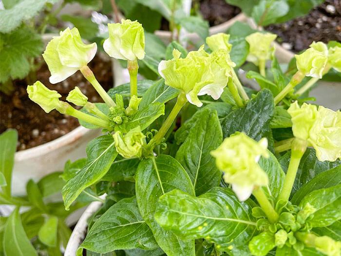 ニチニチソウは本来は多年草ですが、寒さに弱いので日本では一年草として扱われることの多い草花です。  今回は鉢植えにしたので、霜の季節は室内で管理して、冬越しにチャレンジしたいと思います。室内で15度前後であれば、冬の間も花は咲き続けるそうです。