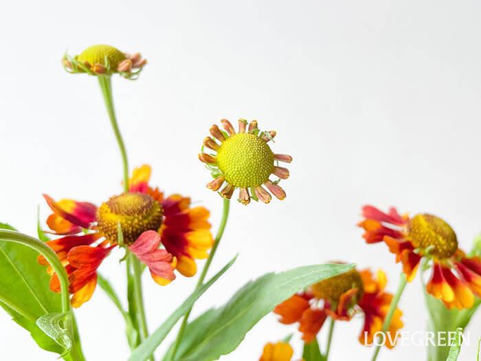 こちらは咲きかけの花。切り花の場合、残念ながらこう言った花は咲かないことがほとんどですが、個人的にはこの姿もとてもキュートで好きです。全ての花が満開ではないからこそ、ナチュラルな自然の趣を感じます。