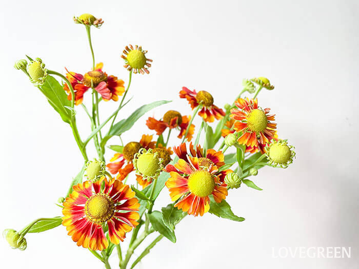 ヘレニウムの特徴は、花の中心部が半球状に盛り上がっていること。これが別名「ダンゴギク」の由来になっています。