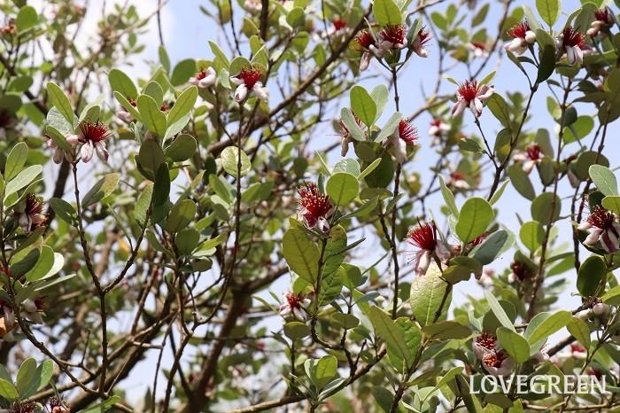 フェイジョア  例えば、カラタネオガタマ、ソヨゴ、ドウダンツツジ、ハイノキ、フェイジョア、マルバノキなどは、ゆっくり生長する木と言われています。