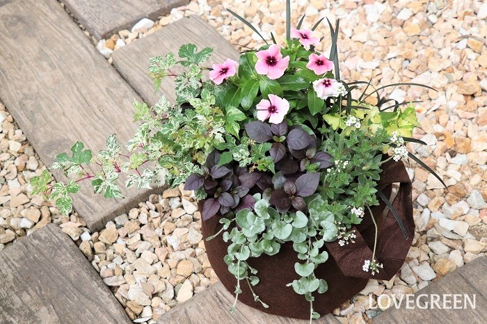 好みにもよりますが、夏には涼しい秋を先取りしてシックな寄せ植えを飾るのもいいですね。写真の寄せ植えは、ニチニチソウ、アルテルナンテラ、ディコンドラ、斑入りノブドウ、アンドロサセ・ラヌギノーサ、ヘデラ・かぐや、コクリュウを使っています。