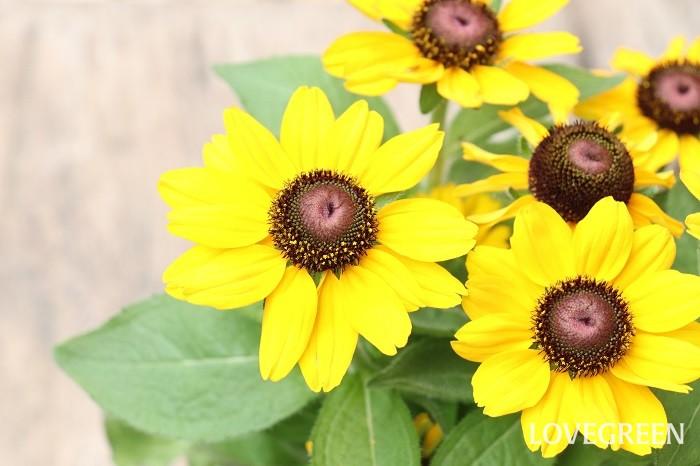 ルドベキアの花期は6月~10月頃。暑い夏にぴったりの華やかで見ごたえのある花です。品種が豊富で花の大きさも大小あり、草丈も幅広い特徴があります。花色は黄色、茶色、レンガ色、アンティークカラー、複色など様々です。八重咲きタイプもあります。