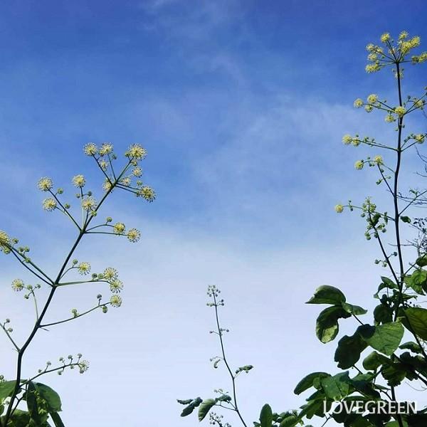 山うど(山独活)は、7月~9月頃、白い小さな花が球形に集まって、のびのびと可愛く咲きます。