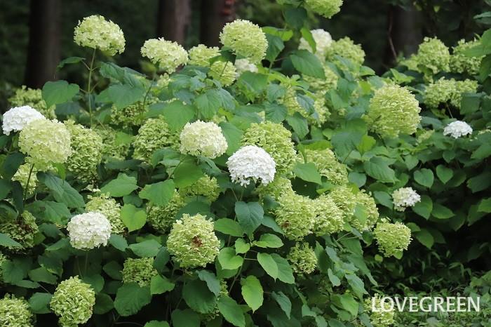 アナベル  公共の花壇に植えてある植物は、それほど手入れをしなくても育つものが植えてある傾向があります。どこにでもある植物だなと思うかもしれませんが、やっぱりよく見かける植物は育ちやすいと実感しています。また、なじみ深い日本の在来種は日本の気候に合っていて育てやすかったりします。一方、新しかったり珍しい品種は性質がデリケートなこともあります。  適応性がある植物としては、アガパンサス、アナベル、トレニア、ベロニカ、アスチルベなどがおすすめです。
