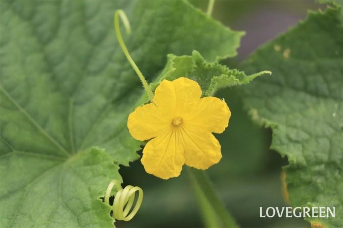 キュウリはつる性の植物で、支柱やフェンスなどに巻き付くように伸びて生長していきます。キュウリは熟す前に緑色の状態で収穫する野菜。関東地方では5月初旬に植え付けると、6月には収穫でき、代表的な春夏野菜の中で一番最初に収穫できる野菜と言えます。種から育てても、収穫するまでの日数は2か月位しかかかりません。