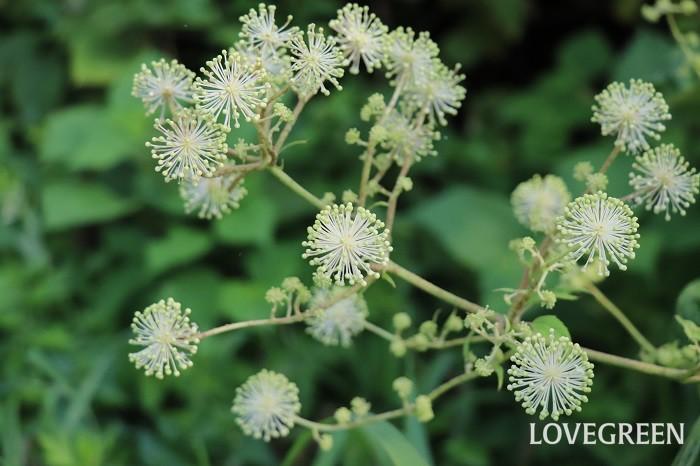 ひとつひとつの粒が蕾で、そこからはじけるように白い花が咲きます。