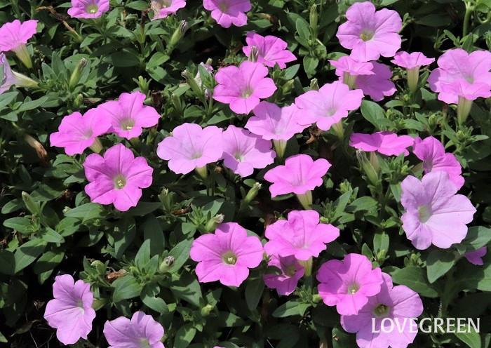 ペチュニア  春(初夏)から秋まで咲く、丈夫で育てやすい一年草は、ペチュニア、サフィニア、マリーゴールド、ブルーサルビア、ニチニチソウ、ジニア、ペンタスなどです。